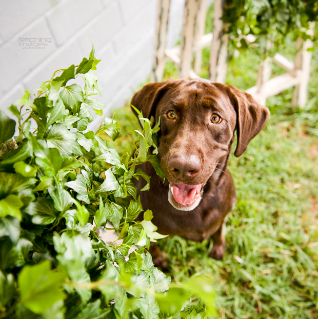 Its-a-Lab-Thing-Labrador-MelHammonds-LifeandDogs-008