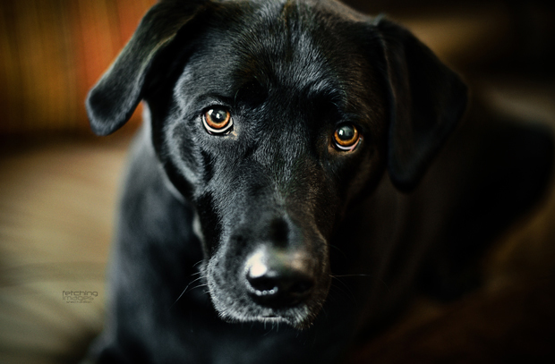 Its-a-Lab-Thing-Labrador-MelHammonds-LifeandDogs-012