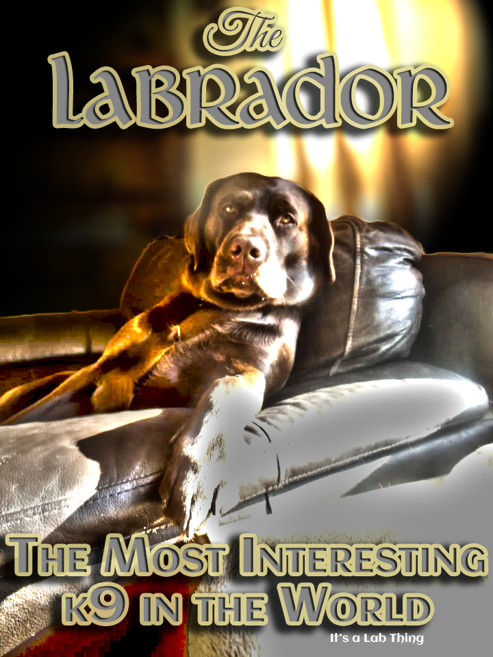 It's-a-Lab-Thing-Most-Interesting-K9-Labrador