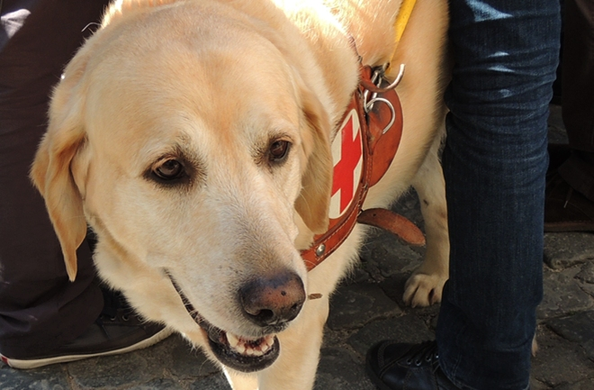 It's a Lab Thing Pope Francis Blesses Labrador Guide Dog