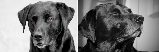 Its-a-Lab-Thing-Labrador-DannyWilliamsLouie-002