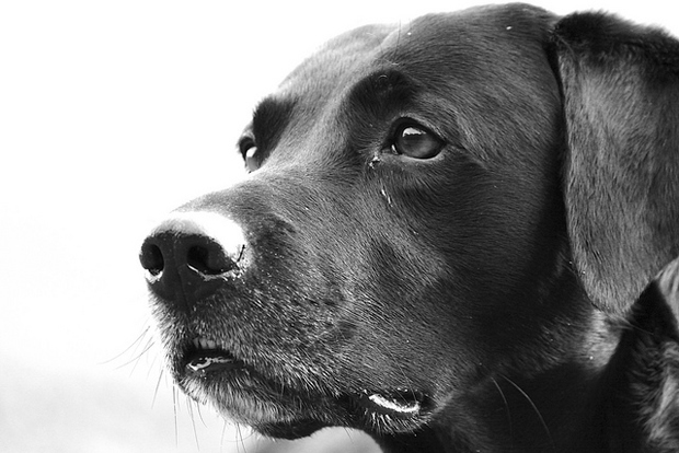 Its-a-Lab-Thing-Labrador-DannyWilliamsLouie-004