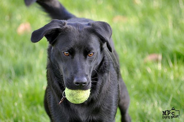 Its-a-Lab-Thing-Labrador-IbrahimMansour-001