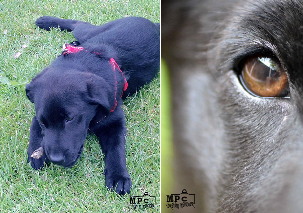 Its-a-Lab-Thing-Labrador-IbrahimMansour-002
