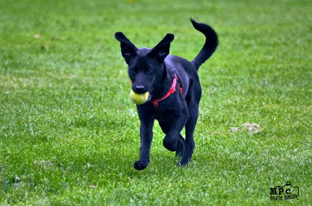 Its-a-Lab-Thing-Labrador-IbrahimMansour-004