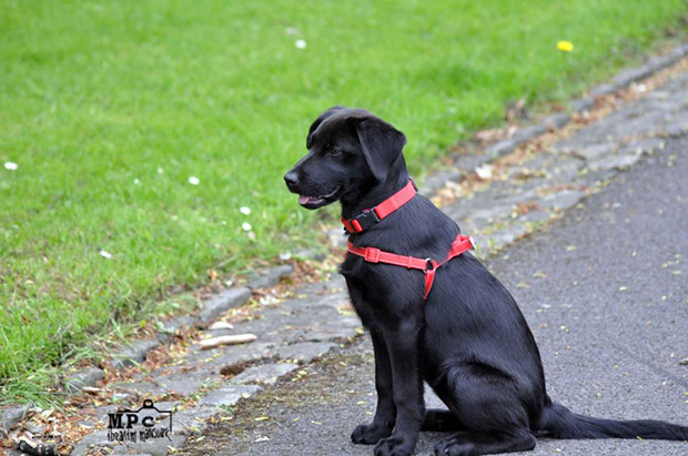 Its-a-Lab-Thing-Labrador-IbrahimMansour-006