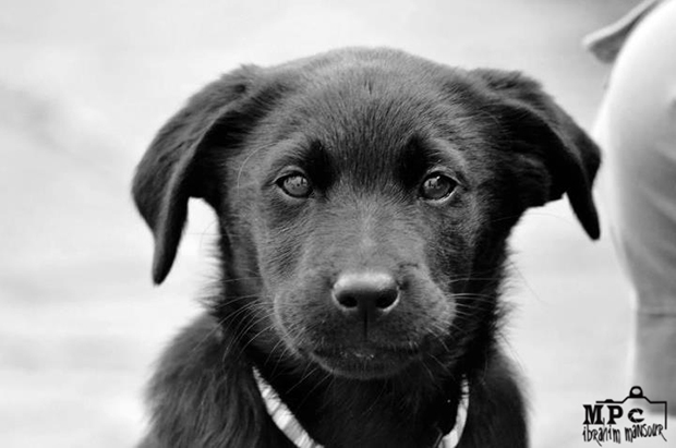Its-a-Lab-Thing-Labrador-IbrahimMansour-009