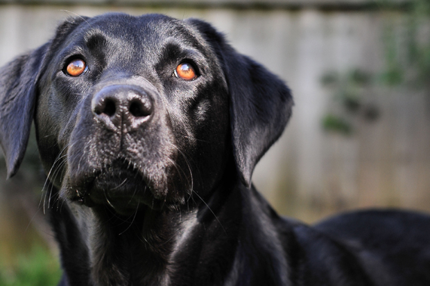 Its-a-Lab-Thing-Labrador-JasonCorbett-009
