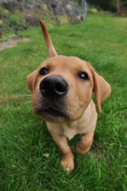 It's a Lab Thing Nosey Labradors