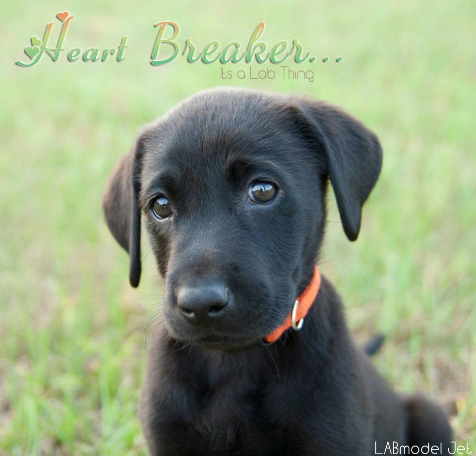 Its a Lab Thing Heartbreaker Labrador