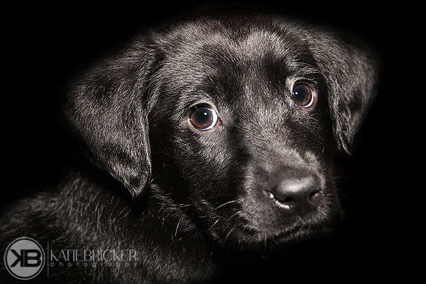 Its-a-Lab-Thing-Labrador-KatieBricker-Dubs-001