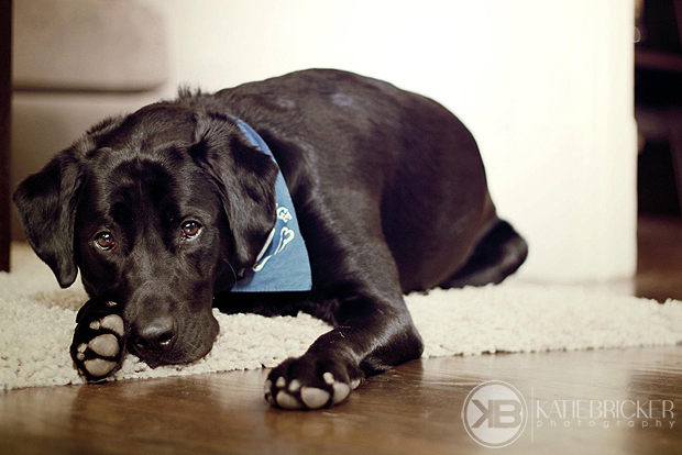 Its-a-Lab-Thing-Labrador-KatieBricker-Dubs-010
