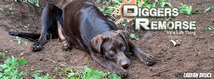 It's-a-Lab-Thing-Excavation-Labradors-1