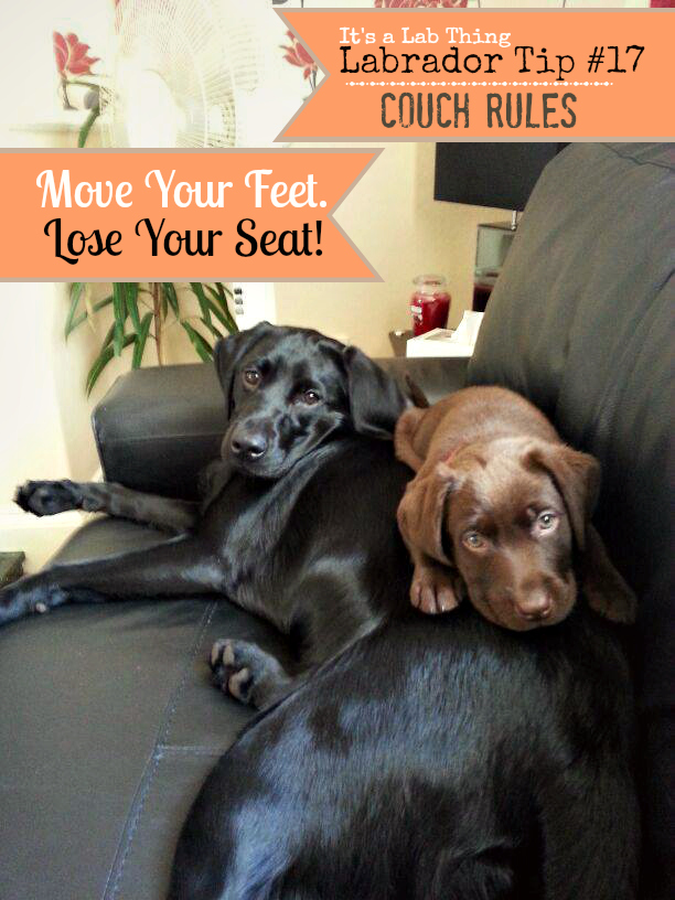 It's a Lab Thing Labrador Practical Tip 17 Couch Rules