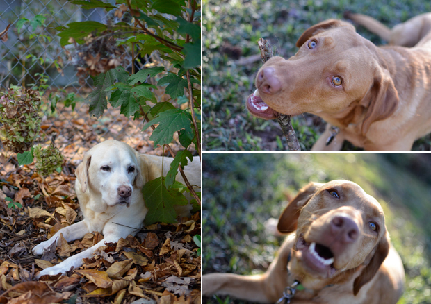 It's a Lab Thing Labrador Rescues Elena Dog Photography Showcase (3)