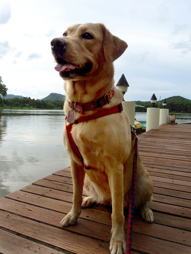 It's a Lab Thing Labradors in Thailand Poppy (11)