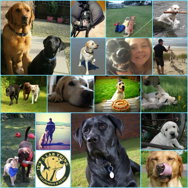 It's a Lab Thing National Dog Day Labradors web 2