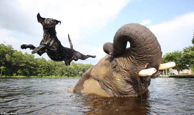 Black Labrador and Elephant It's a Lab Thing