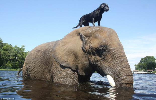 Black Labrador and Elephant It's a Lab Thing 2