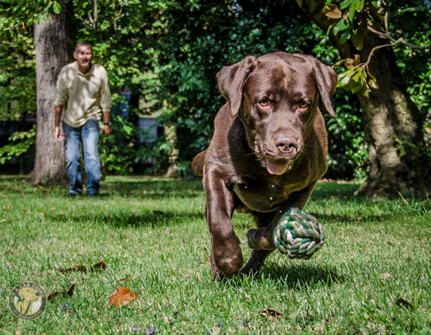 It's a Lab Thing Labradors FotoCoach Italy 2013-357