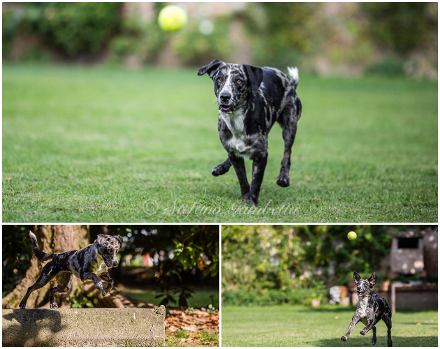 Labrador Dog Photography Classes It's a Lab Thing FotoCoach Stefano Gambetta-14