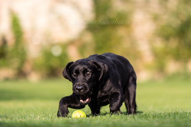 Labrador Dog Photography Classes It's a Lab Thing FotoCoach Stefano Gambetta-2
