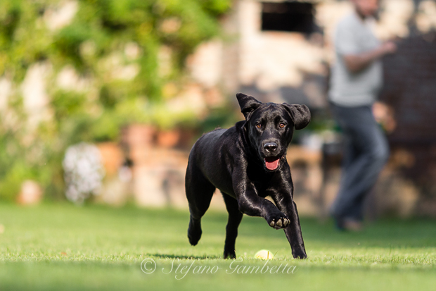 Labrador Dog Photography Classes It's a Lab Thing FotoCoach Stefano Gambetta-3