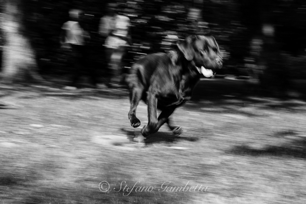 Labrador Dog Photography Classes It's a Lab Thing FotoCoach Stefano Gambetta-4