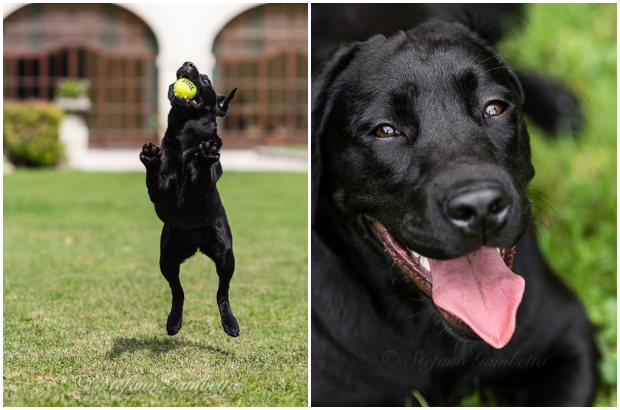 Labrador Dog Photography Classes It's a Lab Thing FotoCoach Stefano Gambetta-5