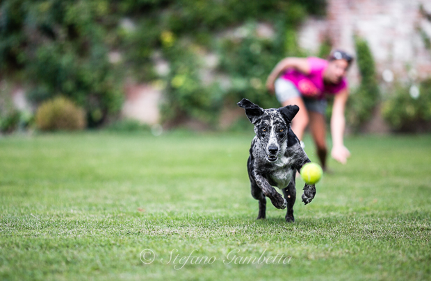 Labrador Dog Photography Classes It's a Lab Thing FotoCoach Stefano Gambetta-7