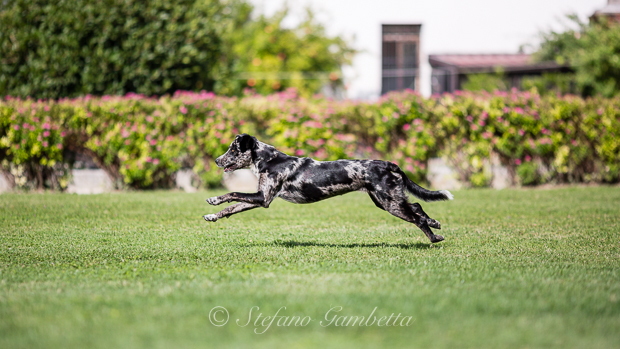 Labrador Dog Photography Classes It's a Lab Thing FotoCoach Stefano Gambetta-8
