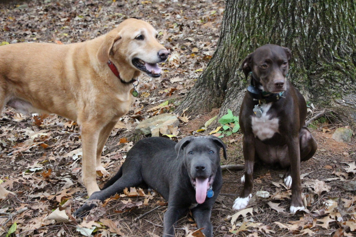 Cancer in Labradors It's a Lab Thing Mason's Story (2)