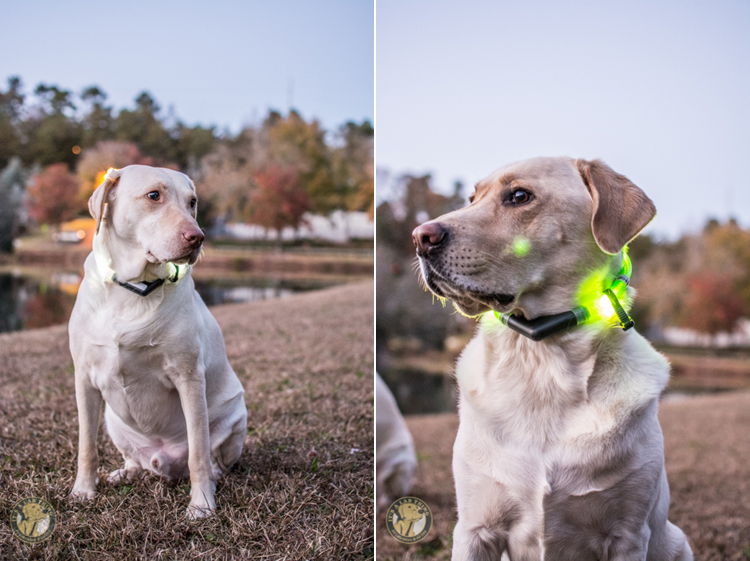 Glowdoggie LED waterproof Collars for Labradors and Dogs (2)