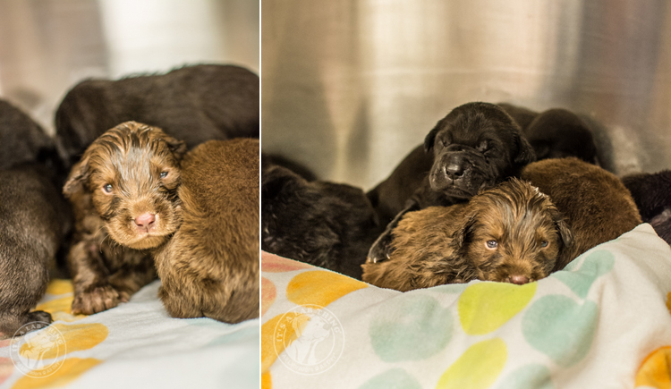 Labrador  Rescue Puppies LFS Atlanta Labrador Rescue NYE  (1)