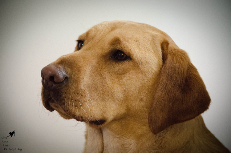Labrador Dog Photography Classes with Andy Biggar It's a Lab Thing (1)