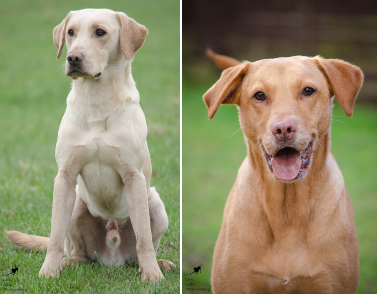 Labrador Dog Photography Classes with Andy Biggar It's a Lab Thing (2)