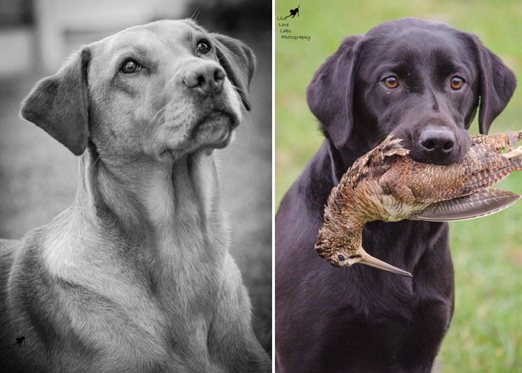 Labrador Dog Photography Classes with Andy Biggar It's a Lab Thing (3)