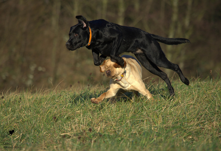 Labrador Dog Photography Classes with Andy Biggar It's a Lab Thing (4)