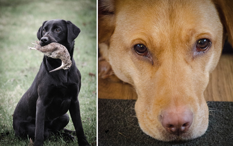 Labrador Dog Photography Classes with Andy Biggar It's a Lab Thing (5)