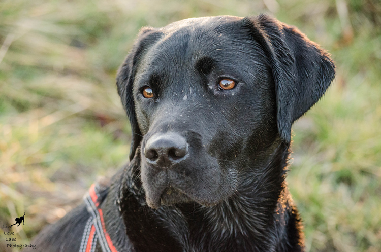 Labrador Dog Photography Classes with Andy Biggar It's a Lab Thing (6)