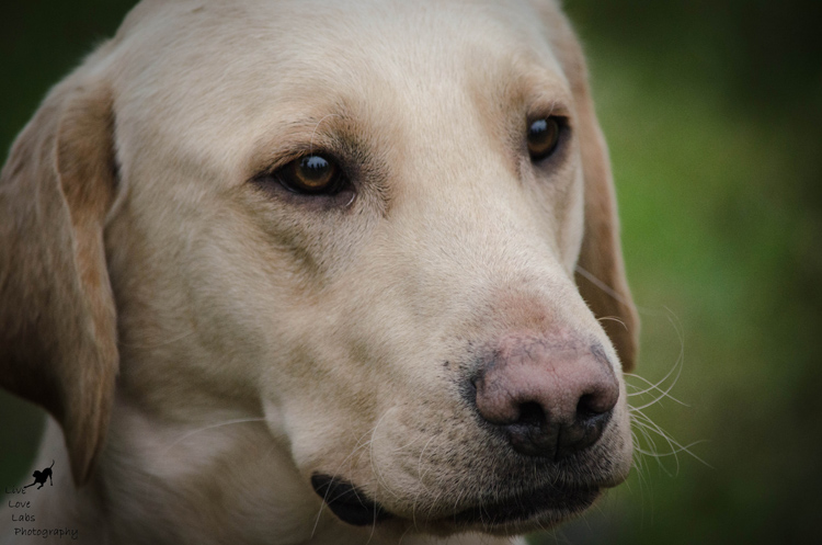 Labrador Dog Photography Classes with Andy Biggar It's a Lab Thing (7)