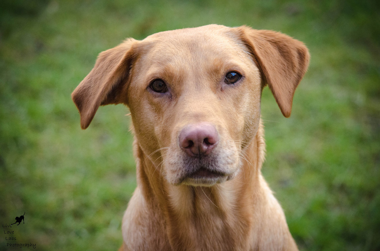 Labrador Dog Photography Classes with Andy Biggar It's a Lab Thing (8)