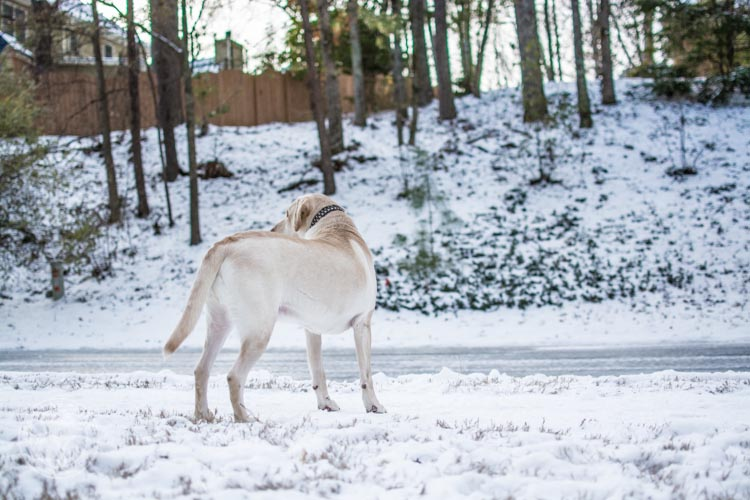 Labradors Playing in the Snow Brody Saban It's a Lab Thing-2