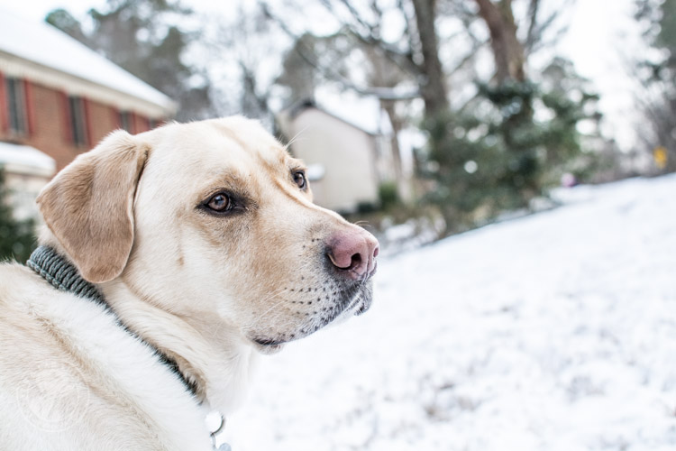 Labradors Playing in the Snow Brody Saban It's a Lab Thing-28