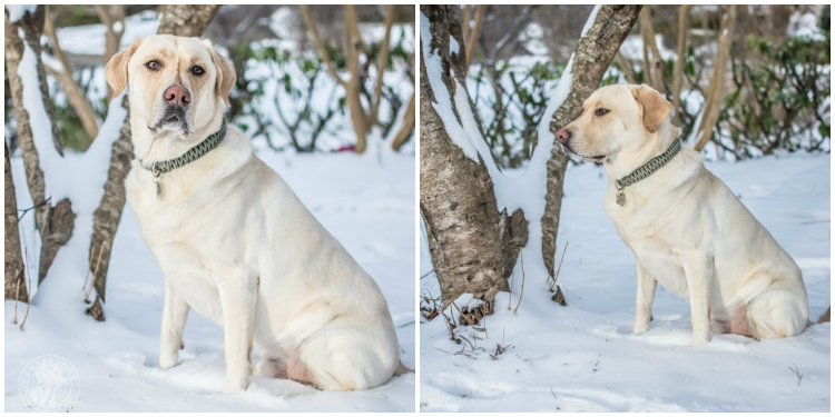Labradors Playing in the Snow Brody Saban It's a Lab Thing-40