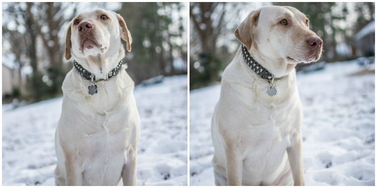 Labradors Playing in the Snow Brody Saban It's a Lab Thing-43