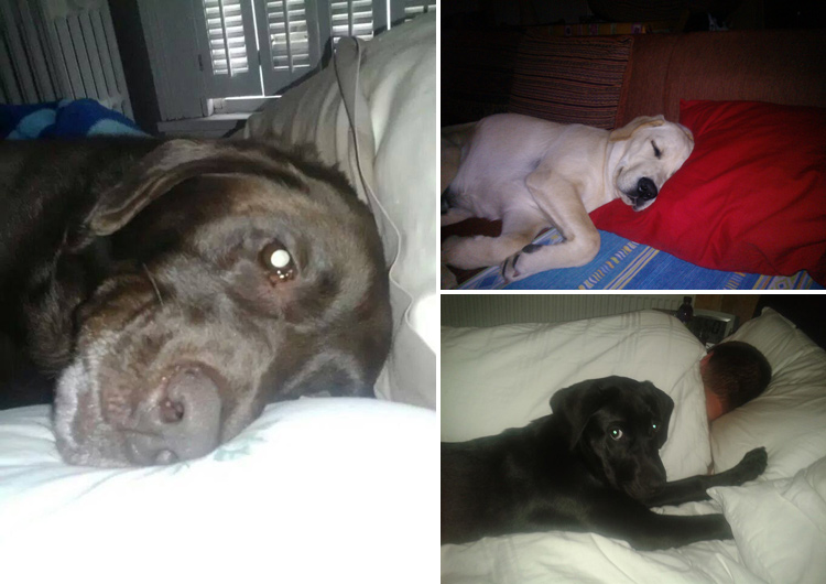 Bed Hogging Labradors It's a Lab Thing (14)