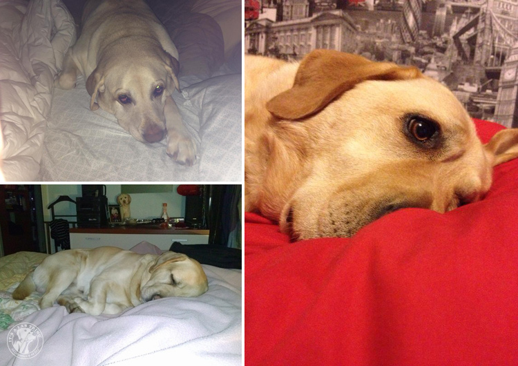 Bed Hogging Labradors It's a Lab Thing (5)