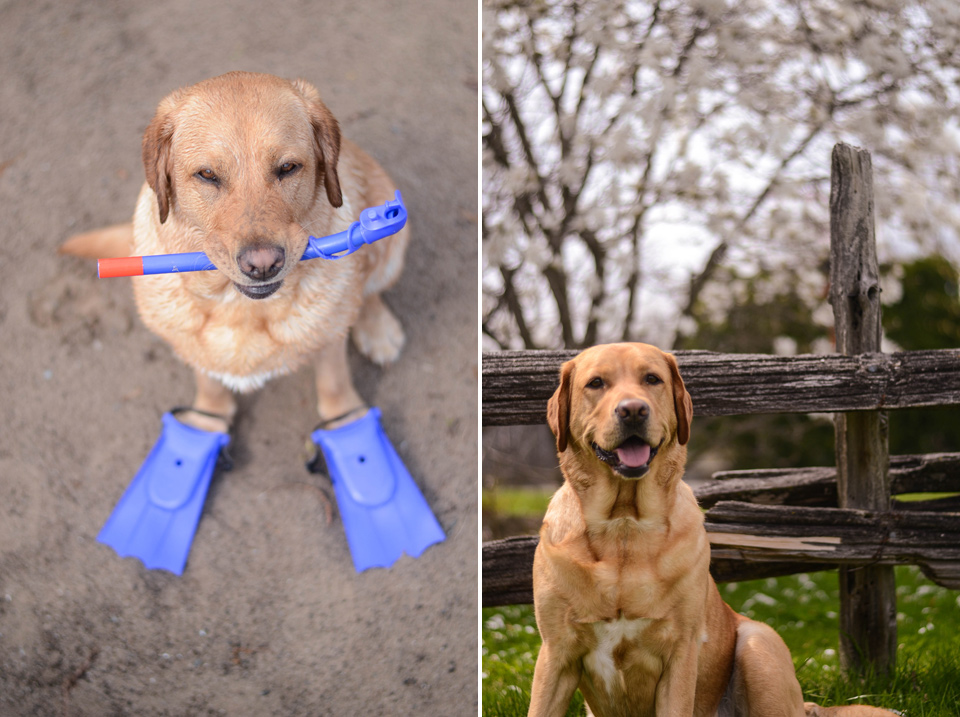absolutely-cute-labrador-pictures-chelsea-tyrer-002