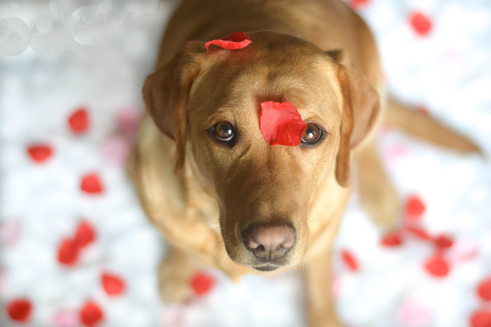 absolutely-cute-labrador-pictures-chelsea-tyrer-003